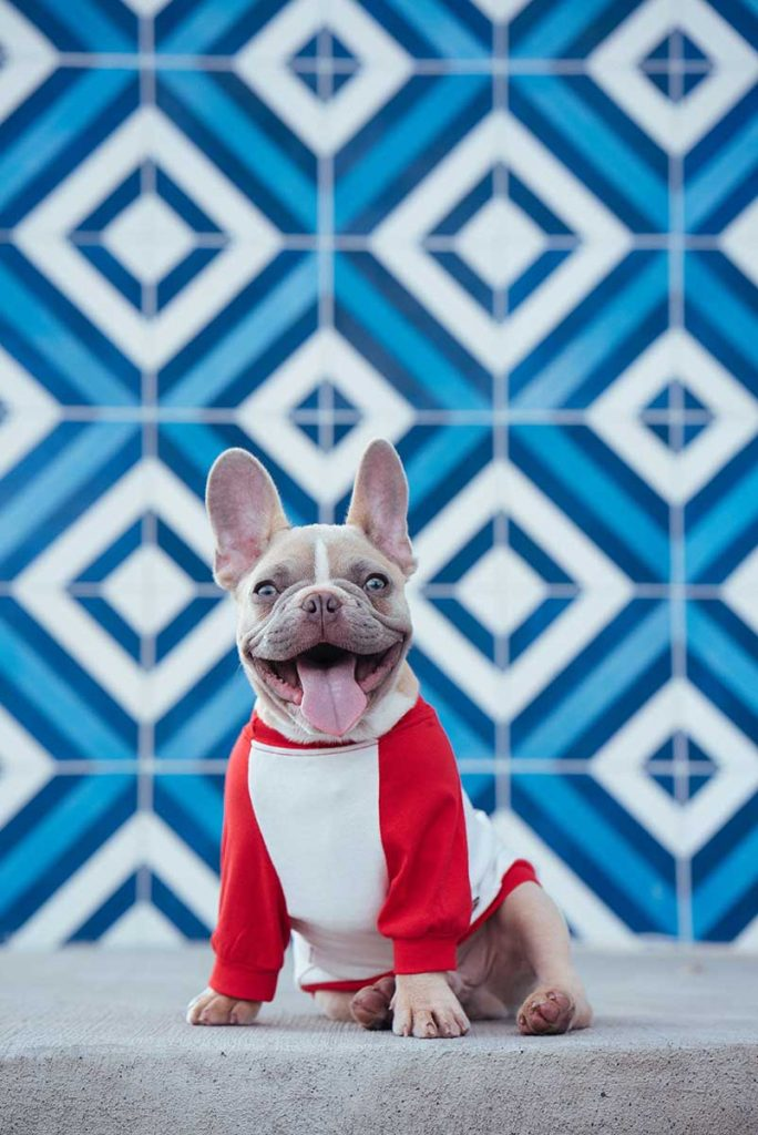 happy looking french bulldog wearing a white shirt with red sleeves sitting on front of a blue and white patterned background