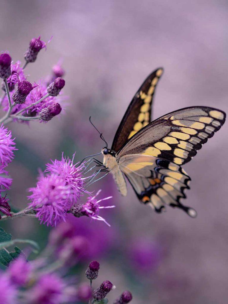 Butterfly landing on thistle flower
